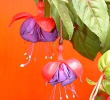 'Fuchsia' by Mike O'Brien