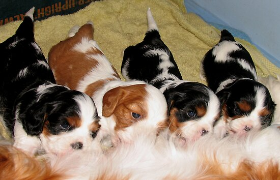 Cavalier Puppies at the Milk Bar  by Jenny Brice