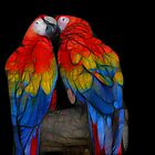 Fractal Macaws by Teresa Zieba