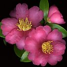 Rose Camellias by Marsha Tudor