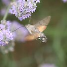 Hummingbird Hawk Moth at Work by Pamela Jayne Smith