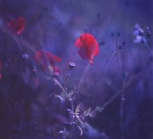 Red poppy in blue - medium format analog Hasselblad film photo by edwardolive