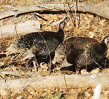 Wild turkeys in Zion by jsmusic