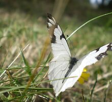 White Butterfly by Kimberly  Parenteau