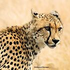 "IN PORTRAIT - THE ""CHEETAH"" – Acinonyx jabatus by Magaret Meintjes"