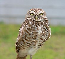 Burrowing Owl Adult by Rosalie Scanlon