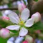 Apple Blossom Time by Nanagahma