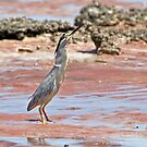 "Striated Heron ~ ""The Statue""  by Robert Elliott"