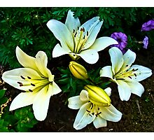 White Lily in the garden Photographic Print