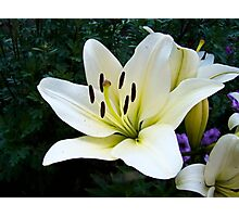 White Lily in the garden 4 Photographic Print