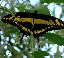 Giant Swallowtail - Papilio cresphontes by Sharon Perrett