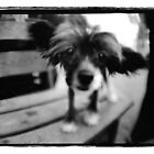 tiny dog big ears by mike schreiber