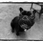 french bulldog by mike schreiber