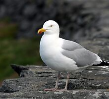 Seagull at Slea Head by John Quinn