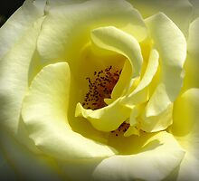 evening yellow rose by 1busymom