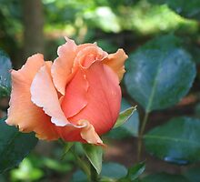 """""""Just Joey"""" Rosebud by Pat Yager"""