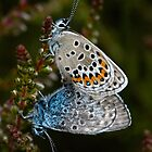 Silver studded Blues by Mike Ashton
