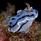 Kyan Mesaki Nudibranch by Michael Powell