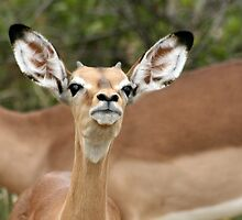 Young Impala ram  - Kruger National Park by Louw Agenbag