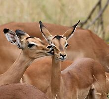 Playful Impala - Kruger National Park by Louw Agenbag