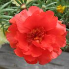 Moss Rose Red by Stormoak Lonewind
