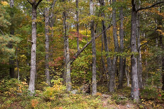 Forest, Skyline Drive, Shenandoah National Park, U.S. by John Wright