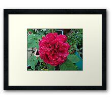 Red Rose .. after the rain 11 Framed Print