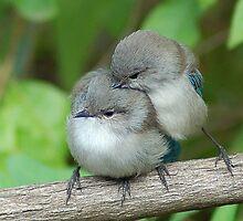 blue wren life by Adrian Kent