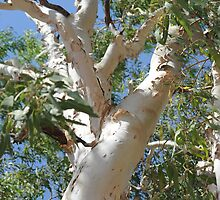 a tall gum tree by BonnieH