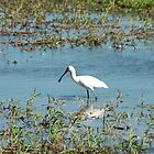 lonely spoonbill by BonnieH