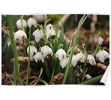 Galanthus (Snowdrops) Poster