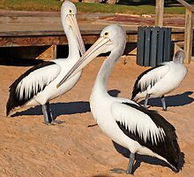 Australian Pelicans, Monkey Mia, Western Australia by Adrian Paul
