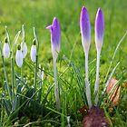 Messengers of Spring by Jo Nijenhuis