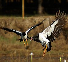 Magpie Geese flock in by Keith McGuinness