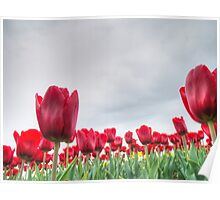 Red tulips 4 Poster