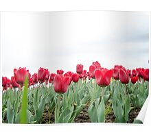 Red tulips 3 Poster
