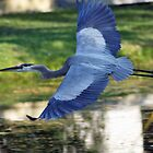 BLUE HERON FLIGHT by mlynnd