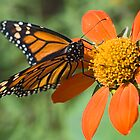 Food for Monarchs by Eyal Nahmias