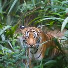 Stylized photo of a Malayan female tiger in bushes.   by NaturaLight