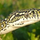Diamond Python, Morelia spilota spilota by peterstreet