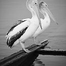 The 2 Pelicans by AllshotsImaging