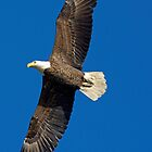 Bald Eagle by imagetj