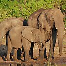 The Elephant Family, Chobe National Park, Botswana by Adrian Paul