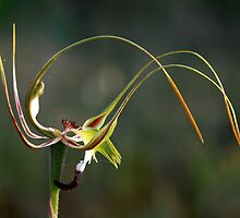 King Spider Orchid - Flip Top Lid by LeeoPhotography