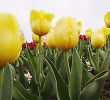 Yellow tulips 5 by AnnArtshock