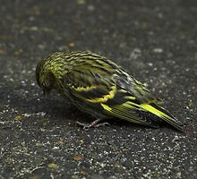 SLEEPING SISKIN by babooshka