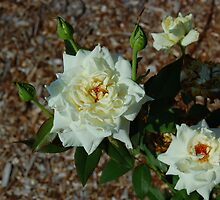 Two  White Roses by Janet Ellen Lusk
