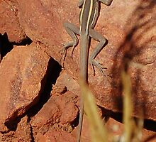 Long-nosed (Water) Dragon (Amphibolurus longirostris),  Trephina Gorge, Northern Territory, Australia  by Adrian Paul