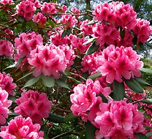 Rhododendron  Beauty by JuliaWright