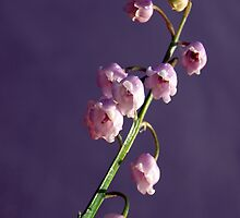 Pink Lily of the Valley by Bev Pascoe